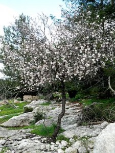 Dayr_Aban_Almond_Tree_
