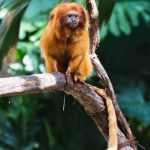 Language Variety from Marmoset to Man