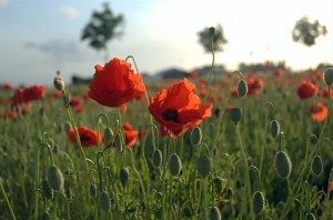 Poppies_Field_in_Flanders